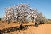 Near Tripoli, Libya - Almond Trees in Bloom