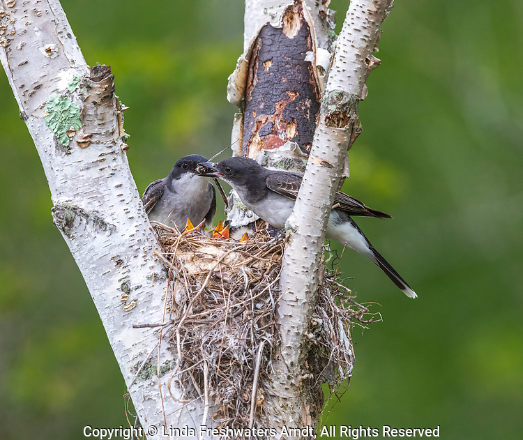 Eastern kingbirds bringing food to their chicks in northern Wisconsin.
