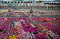 """16/05/16 <br /> <br /> Victoria Brannan (18) admires the cactuses.<br /> <br /> Britain's biggest cactus grower attributes the recent hot weather for his current winning streak at national flower shows, something he hopes to repeat later this month at RHS Chelsea.<br /> <br /> Full story here:  http://www.fstoppress.com/articles/winning-streak-for-blooming-cactus/<br /> <br /> .But a few days ago it was almost too hot for his prickly blooms and he had to pump in cooler air from outside to cool down his giant 22,000 sq ft greenhouse.<br /> <br /> And now, as you enter the greenhouse, you're met with a brilliant display of colour, almost every cactus is in full bloom, a patchwork of bright yellow and orange, subtle pinks and deep red flowers.<br /> <br /> """"There's probably about one hundred thousand plants in here, and most of them are already showing flowers,"""" said owner Bryan Goody, who runs the nursery with his wife Linda and daughter Eleanor.<br /> <br /> <br /> All Rights Reserved: F Stop Press Ltd. +44(0)1335 418365   +44 (0)7765 242650 www.fstoppress.com"""