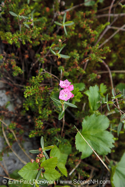 Bog Laurel - Kalmia polifolia- during the summer months along the Appalachian Trail in the Presidential Range of the White Mountains, New Hampshire USA. This plant is poisonous to livestock