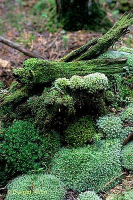 MY01-010a  Moss - on stump