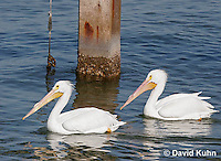 0727-0801  American White Pelican, Pelecanus erythrorhynchos © David Kuhn/Dwight Kuhn Photography.