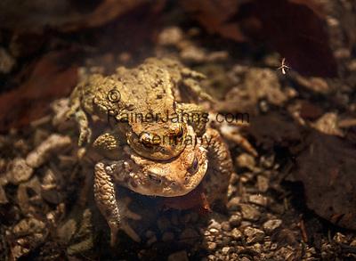 Germany, Bavaria, Chiemgau, Ruhpolding: mating (Amplexus) European common toad (Bufo bufo) at lake Taubensee near Ruhpolding, a mosquito flying right above | Deutschland, Bayern, Chiemgau, Ruhpolding: Laichvorgang (Amplexus  - lat. Umarmung) eines  Erdkroetenpaares (Bufo bufo) im Laichgewaesser Taubensee, rechts darueber fliegt eine Stechmuecke