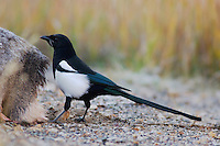 Black-billed Magpie, Pica hudsonia, adult on dead mule deer, Silverton,Colorado, Oktober 2005
