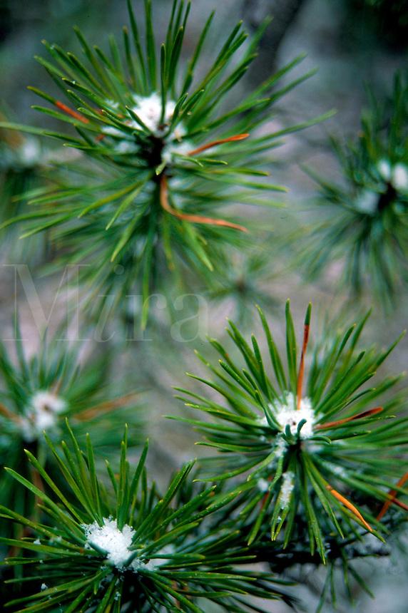 Close up of snow on pine needles.