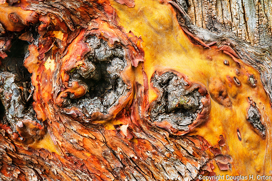 Bark of an aging Madrone tree in Saltwater State Park, Des Moines, WA.  Also known as Arbutus.