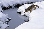 Coyotes jumping across a small stream in Yellowstone National Park.