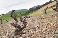 Soil detail. Slate. Vines. Died from the court noue fanleaf degeneration virus disease. Mas Amiel, Maury, Roussillon, France