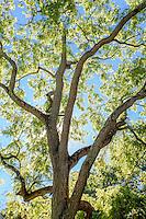 Juglans nigra - Black Walnut tree; Arnold Arboretum