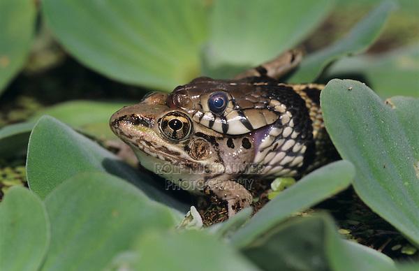 Checkered Garter Snake, Thamnophis marcianus marcianus, adult eating Leopard Frog, Lake Corpus Christi, Texas, USA