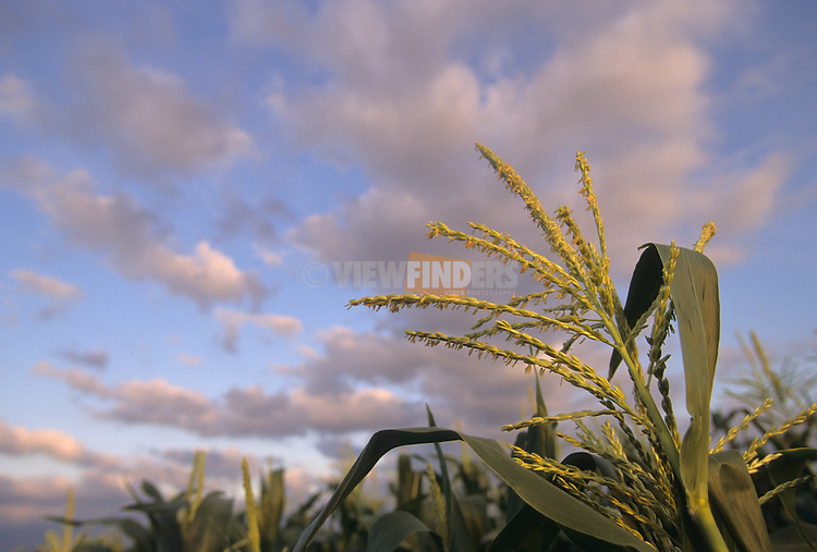 Close-up detail of corn in a field with sky.