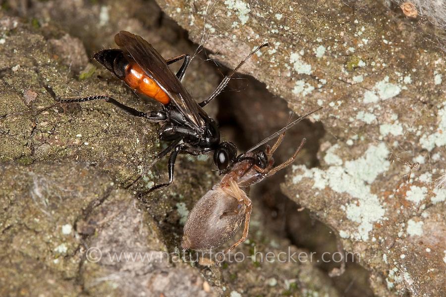 Wegwespe mit erbeuteter Spinne, Spinnentöter, Weg-Wespe, Spinnen-Töter, Priocnemis spec., Pompilidae, pompilids, spider-hunting wasp, spider wasps