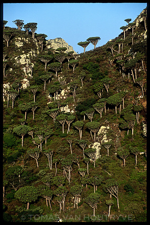 A grove of Dragon's Blood Trees (Dracaena cinnabari) seen in the Skund mountains on the island of Socotra, Yemen on Wednesday, 25 May 2005.<br />