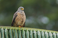 Roadside Hawk, Buteo magnirostris, adult perched on palm frond, Central Pacific Coast, Costa Rica, Central America