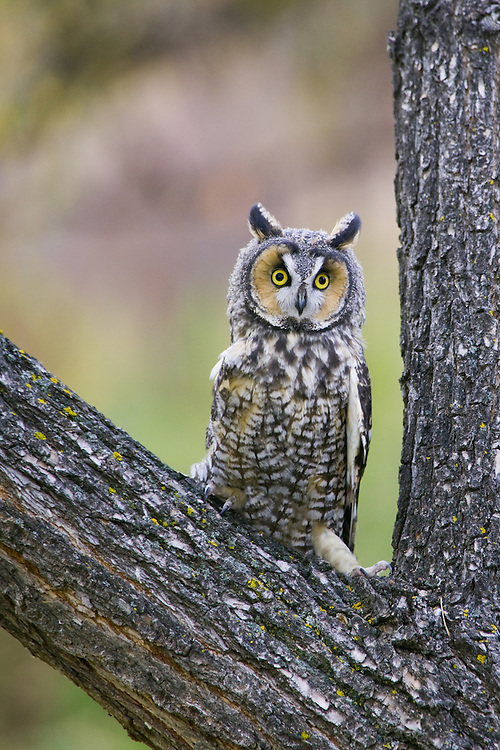 Long-eared Owl perched in the crotch of a tree trunk