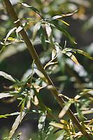 Europe/France/Aquitaine/64/Pyrénées-Atlantiques/Pays-Basque/Bayonne:  Osier ou Osier vert , Sentier botanique de la Plaine d'Ansot.<br /> La Plaine d'Ansot est une zone naturelle protégée de 100 hectares située aux portes du centre ville de Bayonne.<br /> Elle permet de découvrir la richesse des écosystèmes spécifiques aux zones humides à travers des sentiers pédagogiques à thème : écologie, faune, flore, eau, vie dans les barthes.<br /> Au cœur de la plaine, la Maison des barthes propose information et expositions permanente et temporaire