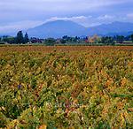 Autumn Vineyards, Oakville, Mt. St. Helena, Napa Valley, California