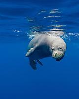 Hawaiian monk seal, Neomonachus schauinslandi, Critically Endangered endemic species, mature male, Lehua Rock, off Niihau, USA, Pacific Ocean