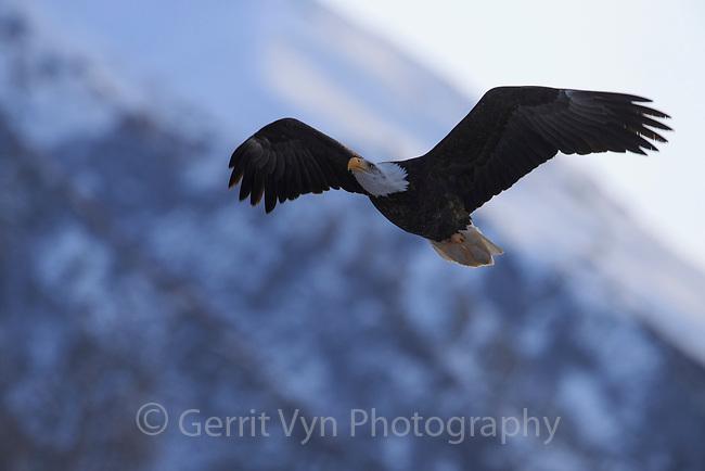 Bald Eagle (Haliaeetus leucocephalus) in flight. Southeast, Alaska. December.