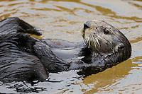 Northern Sea Otter (Enhydra lutris) grooming.