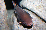 lumpfish siting on boulder