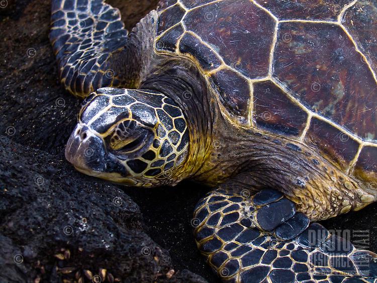 A green sea turtle rests his or her head on the lava rock along the shoreline of the Mahai'ula section of Kekaha Kai (Kona Coast) State Park, Big Island.