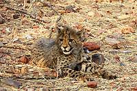 Cheetah cub at Otjitotongwe