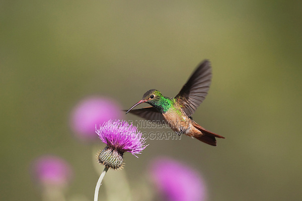 Buff-bellied Hummingbird (Amazilia yucatanenensis), male feeding on Texas thistle (Cirsium texanum), Sinton, Corpus Christi, Coastal Bend, Texas, USA
