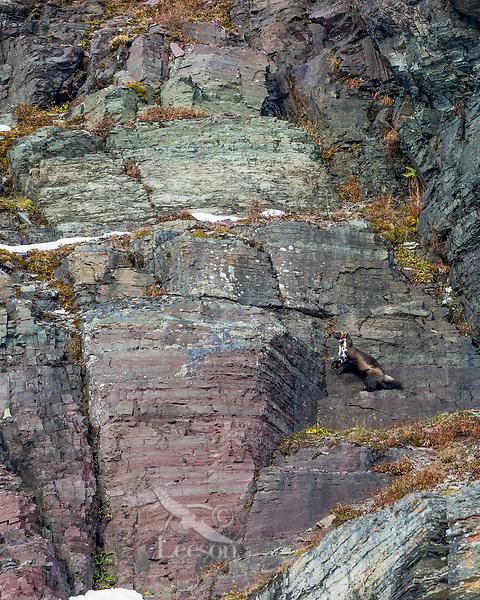 Wild wolverine (Gulo gulo) climbing rocky cliffs.  Northern Rocky Mountains in Glacier National Park, MT.  October.