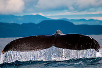 humpback whale, Megaptera novaeangliae, fluke, Pico Island, Azores, Portugal