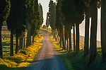 Mediterranean cypress (Cupressus sempervirens), Tuscany, Italy<br />