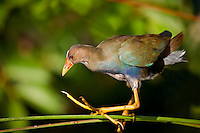 Juvenile Purple Gallinule perched on a reed