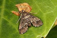 Orchideenwickler, Orchideen-Wickler, Duponchelia fovealis, Hymenia griseata, Stenia canuisalis, Stenia uniflexalis, Stenia eanuisalis, Decticogaster komiensis, European pepper moth, Dark Marbled Tabby