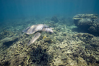 flatback sea turtle, Natator depressus, endemic to Australia and southern New Guinea, swims over coral reef, Australia