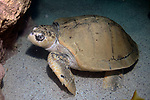 Kemps Ridley Sea Turtle resting on sand bottom