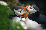 Nesting in burrows along the sheer cliffs of Iceland's rocky coastline, a pair of Atlantic puffins watches over their single egg.