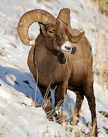 The bighorn sheep (Ovis canadensis) is a species of sheep unique to North America and is named for its large horns. Big Horns can often be seen in Yellowstone. The horns can weigh up to 30 pounds, while the sheep themselves weigh up to 300 pounds. As horns, they do not shed and a ram's age and health can be determined by their growth rings. The tips of the horns often break off as the rams fight with each other for breeding rights or because the ram has broomed them off by rubbing the tips on hard (usually rock) surfaces for a better view. Soda Butte Creek confluence with Lamar River, Yellowstone.