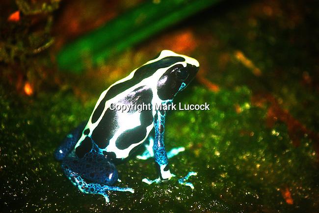 Arrow Poison Frog