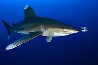 Oceanic whitetip shark, Carcharhinus longimanus, pilot fish, Naucrates ductor, Daedalus Reef, Egypt, Red Sea, Indian Ocean