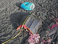 poacher, killed leatherback sea turtle, Dermochelys coriacea, Dominica, Caribbean, Atlantic