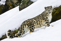 Snow Leopard (panthera uncia) standing along a steep snowy incline in front of a mossy ledge near Kalispell, Montana, USA - Captive Animal