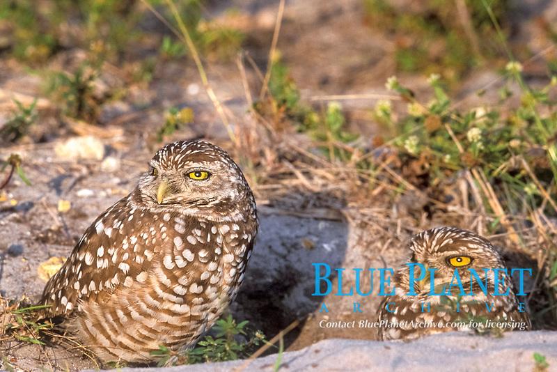 burrowing owl, Athene cunicularia, pair, at their den entrance, Cape Coral, Florida, USA