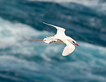Red-tailed tropicbird (Phaethon rubricauda) photographed in flight at the Kilauea Point National Wildlife Refuge, Kauai