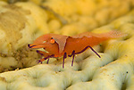 Imperator commensal shrimp (Periclimenes imperator) on sea cucmber