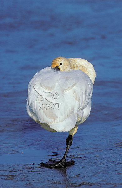 Tundra Swan on ice..Fraser River estuary. British Columbia..Canada. (Cygnus columbianus).