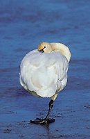 Tundra Swan on ice..Fraser River estuary. British Columbia..Canada. (Cygnus columbianus).