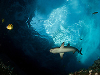 whitetip shark, Triaenodon obesus, swimming at roca partida, Revillagigedo archipelago, pacific ocean Mexico