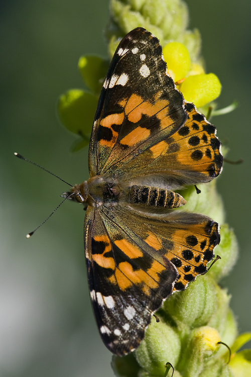 Painted Lady Butterfly on a Common Mullein