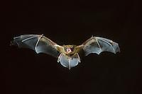 Großer Abendsegler, im Flug, fliegend, Flugbild, Nyctalus noctula, common noctule, noctule bat, La Noctule commune