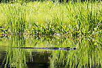 Damon, Texas; a large, adult alligator swimming along the surface of the slough, breaking up the reflection of the reeds on the bank